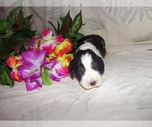 English Springer Spaniel Puppy for Sale in MADISON, South Dakota USA