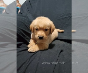Medium Golden Labrador