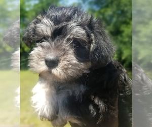 Maltese-Schnauzer (Standard) Mix Puppy for sale in HURST, TX, USA
