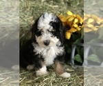 Puppy 8 Miniature Bernedoodle