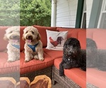Small Photo #1 Labradoodle Puppy For Sale in WATERLOO, SC, USA