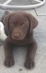 Labrador Retriever Puppy For Sale in SIOUX FALLS, SD
