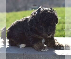 Aussiedoodle-Poodle (Miniature) Mix Puppy for sale in SUNBURY, PA, USA