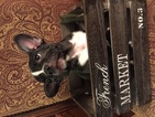 French Bulldog Puppy For Sale in KILLEEN, TX