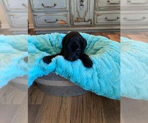 Aussiedoodle-Poodle (Standard) Mix Puppy for sale in CLIMAX, NC, USA