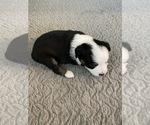 Small #15 Miniature Australian Shepherd