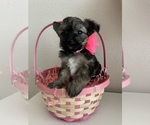 Puppy 2 Pomeranian-Yo-Chon Mix