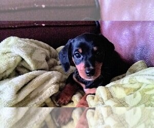 Dachshund Puppy for Sale in TUMWATER, Washington USA