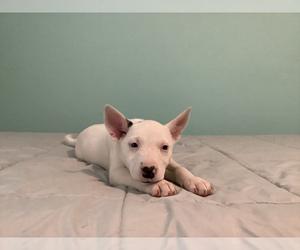 Australian Cattle Dog-Border Collie Mix Dog for Adoption in HILLSBORO, Wisconsin USA