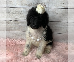 Poodle (Standard) Puppy for sale in FREDERICKTOWN, MO, USA