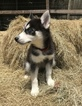 Siberian Husky Puppy For Sale in NEW PORT RICHEY, FL, USA
