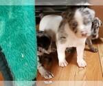 Louisana Catahoula Puppies