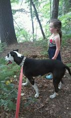 Maxie ♥(HP) - American Pit Bull Terrier / Mixed (short coat) Dog For Adoption