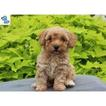 Poodle (Toy) Puppy For Sale in FERTILITY, PA, USA