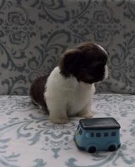 Shih Tzu Dog For Adoption in SACRAMENTO, CA, USA