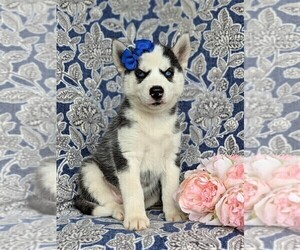 Siberian Husky Puppy for sale in EPHRATA, PA, USA