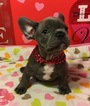 French Bulldog Puppy For Sale in OCEANSIDE, CA, USA