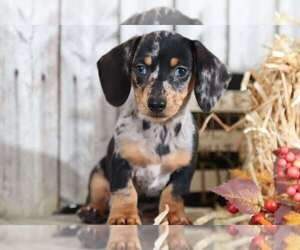 Medium Dachshund