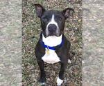 Small #33 American Pit Bull Terrier Mix
