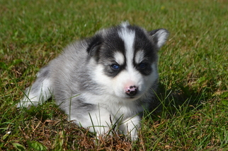 Pomsky Puppy For Sale in NEW CARLISLE, OH, USA