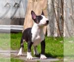 Small #9 Miniature Bull Terrier