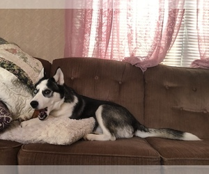 Siberian Husky Puppy for sale in BALTIMORE, MD, USA
