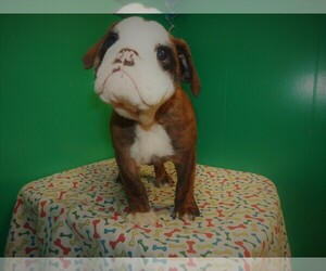 Beabull Puppy for sale in PATERSON, NJ, USA