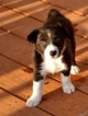 Border Collie Puppies ABCA