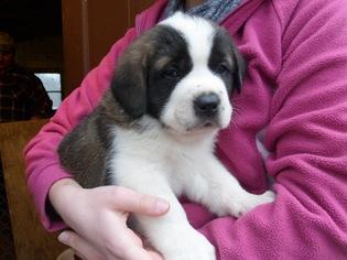 Saint Bernard Puppy For Sale in MEDINA, OH