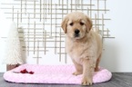 Golden Retriever Puppy For Sale in BEL AIR, MD, USA