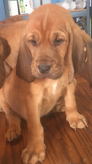 Bloodhound Puppy For Sale in BROOKLET, GA