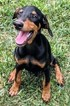 Doberman Pinscher Puppy For Sale in MANVEL, TX, USA