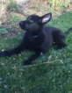 German Shepherd Dog Puppy For Sale in KETTLE FALLS, WA, USA