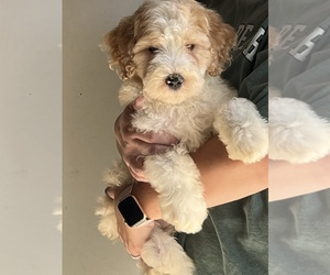 Bernedoodle Puppy for Sale in MACON, Illinois USA