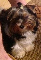 Yorkshire Terrier Puppy For Sale in MOBILE, AL, USA