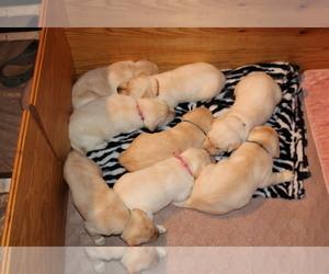 Labrador Retriever Puppy for Sale in LOVELADY, Texas USA