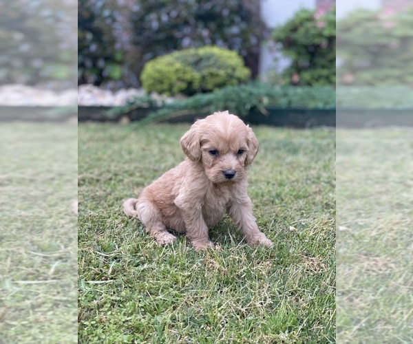 Medium Photo #4 Australian Labradoodle Puppy For Sale in FLORENCE, AL, USA
