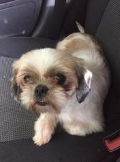 Shih Tzu Dog For Adoption in Lancaster, PA