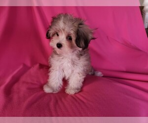 Mal-Shi Puppy for sale in WHITTIER, CA, USA