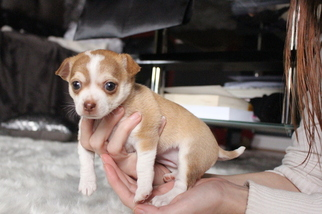 Chihuahua Puppy for sale in LELAND, NC, USA