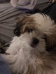 Small Photo #2 Mal-Shi Puppy For Sale in MIDDLETOWN, NY, USA
