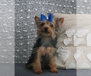 Miniature Pinscher Puppy for Sale in WARSAW, Indiana USA
