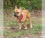 Small Photo #1 French Bulldog Puppy For Sale in FLEMING ISLAND, FL, USA