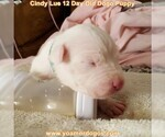 Small Photo #31 Dogo Argentino Puppy For Sale in PINEVILLE, MO, USA