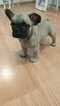 French Bulldog Puppy For Sale in LAKE WORTH, FL