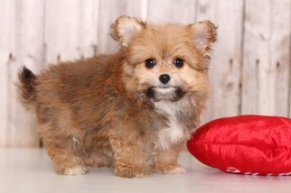 Pom-A-Poo Puppy for sale in MOUNT VERNON, OH, USA