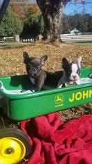 French Bulldog Puppy For Sale in LEXINGTON, NC