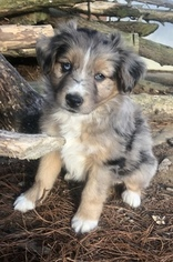 Miniature Australian Shepherd Puppy For Sale near 42303, Owensboro, KY, USA