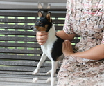 Small #1 Fox Terrier (Smooth)-Jack Russell Terrier Mix