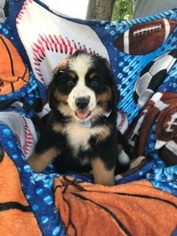 Bernese Mountain Dog Puppy For Sale in BRYANSVILLE, PA, USA